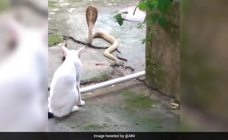 Pet Cat Stands Guard Outside Odisha House To Prevent Cobra From Entering :